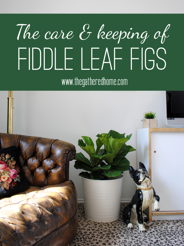 The-care-and-keeping-of-fiddle-leaf-figs