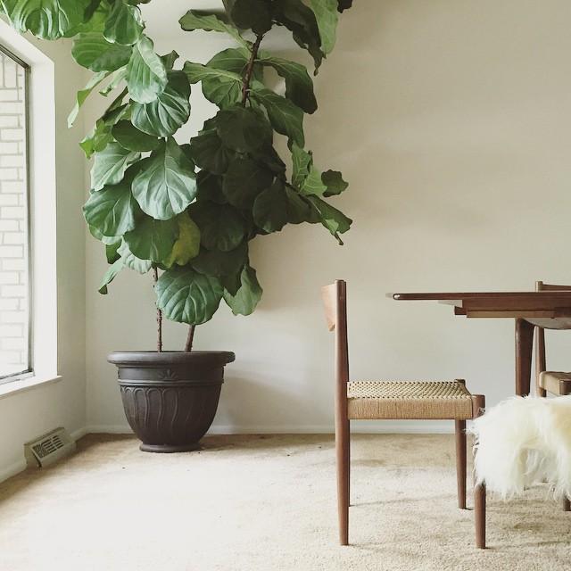Thrift Score Thursday feature fiddle leaf fig plant via annabode