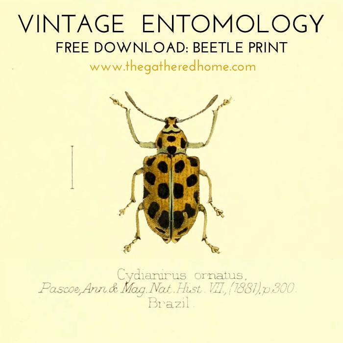 Vintage Entomology Free Download Beetle Print 1